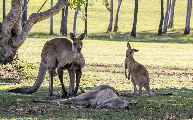 Evan Switzer photographed the a moment grieving kangaroo cradles the head of dead female kangaroo next to her joey