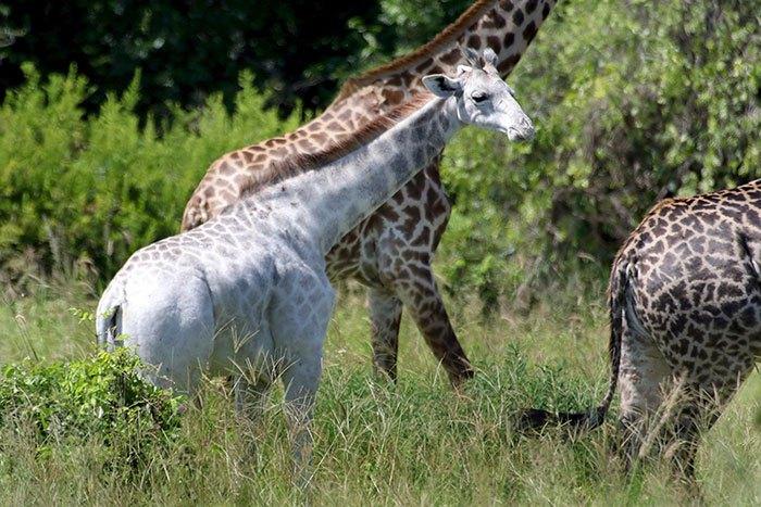 white-giraffe-leucism-albino-rare-animals-omo-tanzania-11