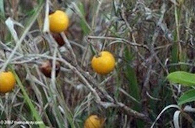 wild-eggplant