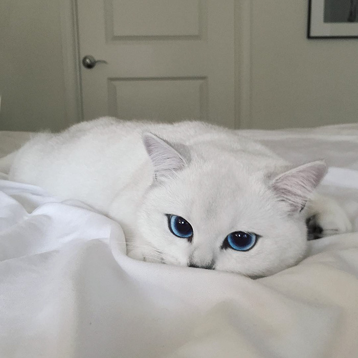 most-beautiful-eyes-cat-coby-british-shorthair-32