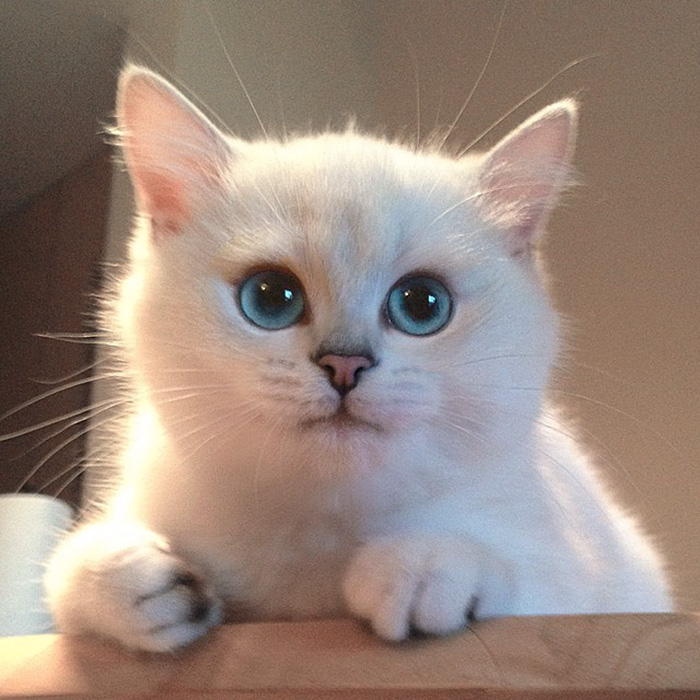 most-beautiful-eyes-cat-coby-british-shorthair-51