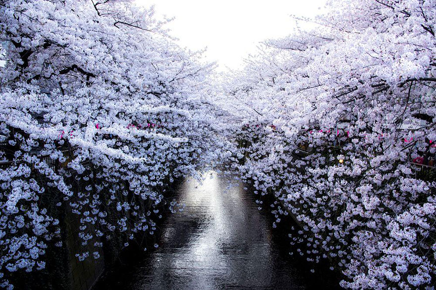 spring-japan-cherry-blossoms-national-geographics-7