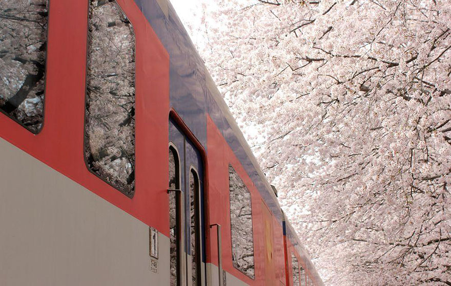 spring-japan-cherry-blossoms-national-geographics-13