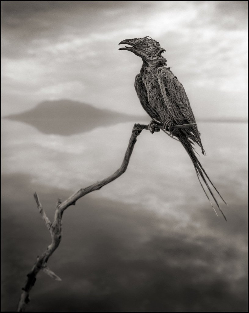 calcified songbird