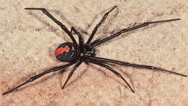 960340-redback-spider