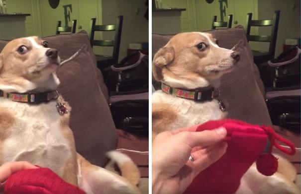 guilty-dog-shaming-destroy-socks-daisy-13