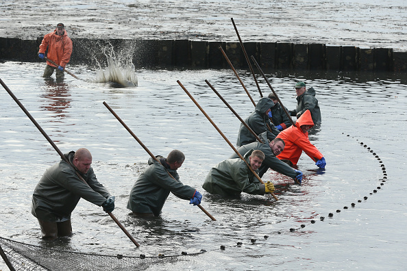PEITZ, GERMANY - NOVEMBER 16: Fishermen use hooked poles to pull a net around carp during the annual carp harvest at fish ponds on November 16, 2015 near Peitz, Germany. Fish farming at the over 100 man-made ponds located near Cottbus in eastern Germany dates back to the 15th century and carp is the main fish harvested. Carp is the traditional Christmas dinner in many parts of the region, though one fisherman laments that tastes are changing among younger generations and that the demand for carp will decline. (Photo by Sean Gallup/Getty Images)