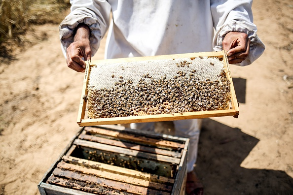KHAN YOUNIS, GAZA - APRIL 25: Palestinian farmer Ahmad Kadih holds beehive frame covered by bees at 800 meters close to the Israeli borders due to limited forage and flower fields, at the Huzaa district of Khan Yunis, Gaza on April 25, 2016. (Photo by Mustafa Hassona/Anadolu Agency/Getty Images)