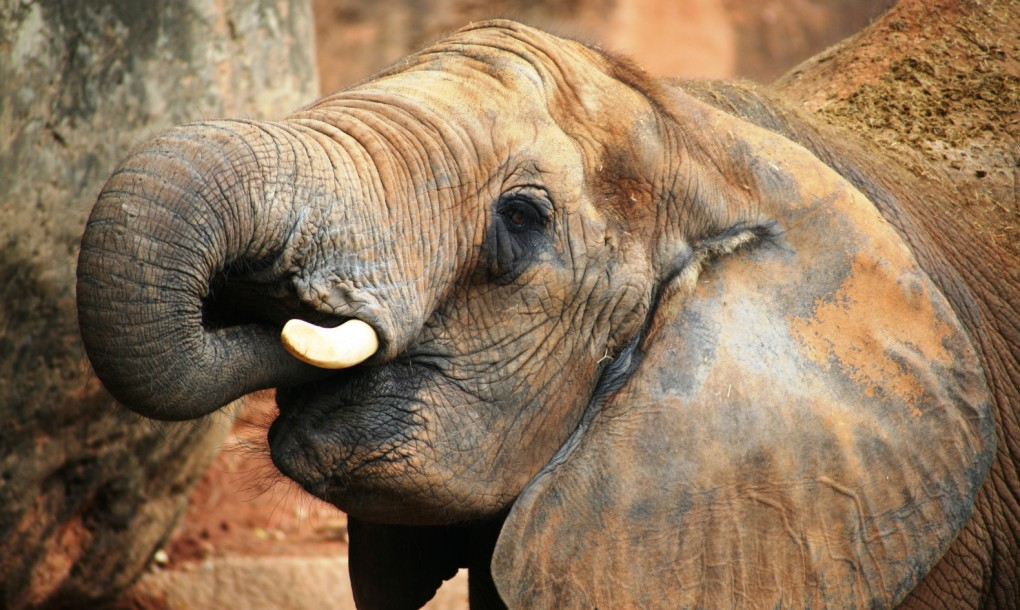 elephant-1020x610