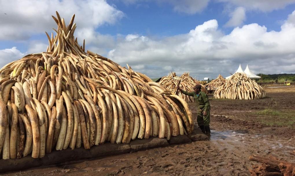 Ivory-piles-in-Kenya-1020x610 (1)