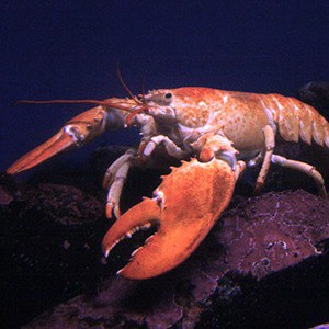 Malelobster_thumb