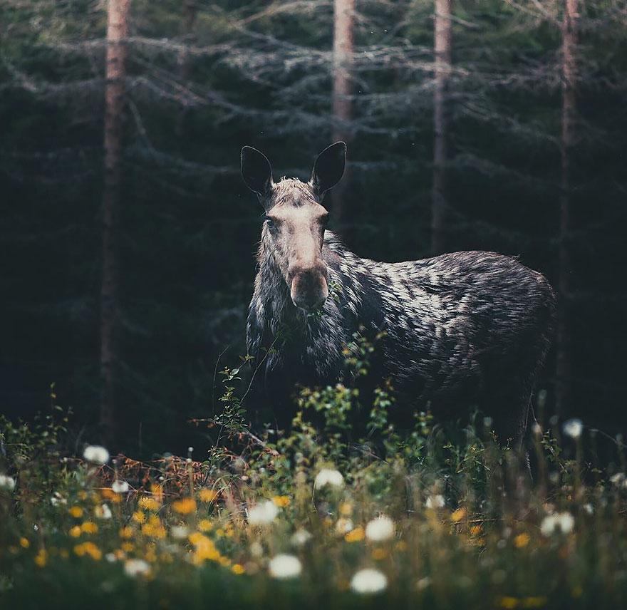 wild-animal-photography-konsta-punkka-12