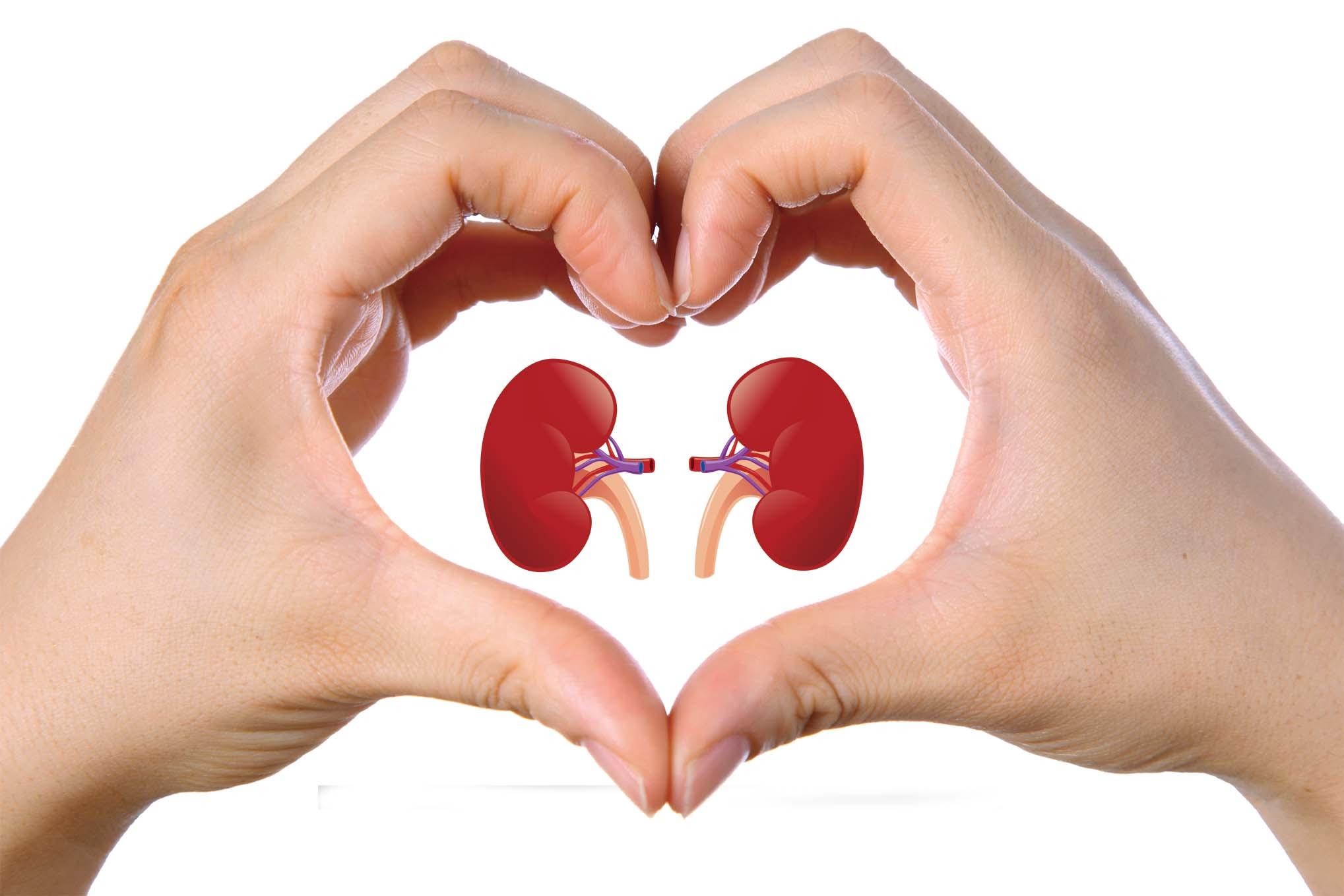 Výsledok vyhľadávania obrázkov pre dopyt kidney
