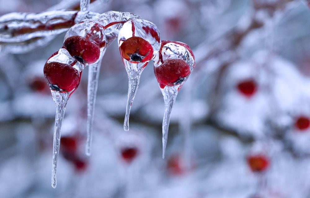 12805-winter-berry-3-1000-30f96d6feb-1475750867