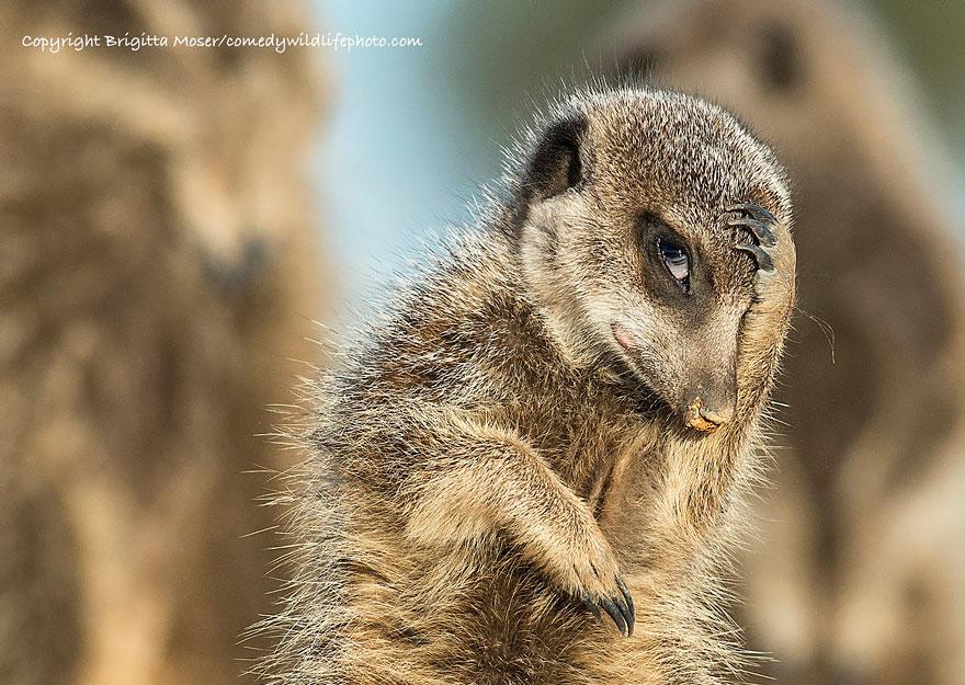 comedy-wildlife-photography-awards-2016-5-57f103a4e393d__880