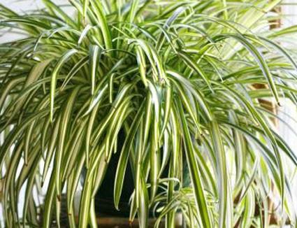 Výsledok vyhľadávania obrázkov pre dopyt Chlorophytum