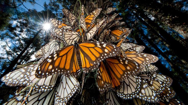 farfalle-monarca1