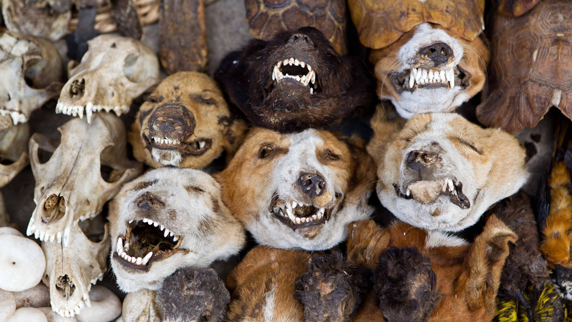 Mandatory Credit: Photo by Xinhua/REX/Shutterstock (4743089b) Animal heads at the market in Lome, Togo. Many of Togo's population are believers of Voodoo, a religion that claims the use of animal parts will cure diseases and make prayers come true. Various