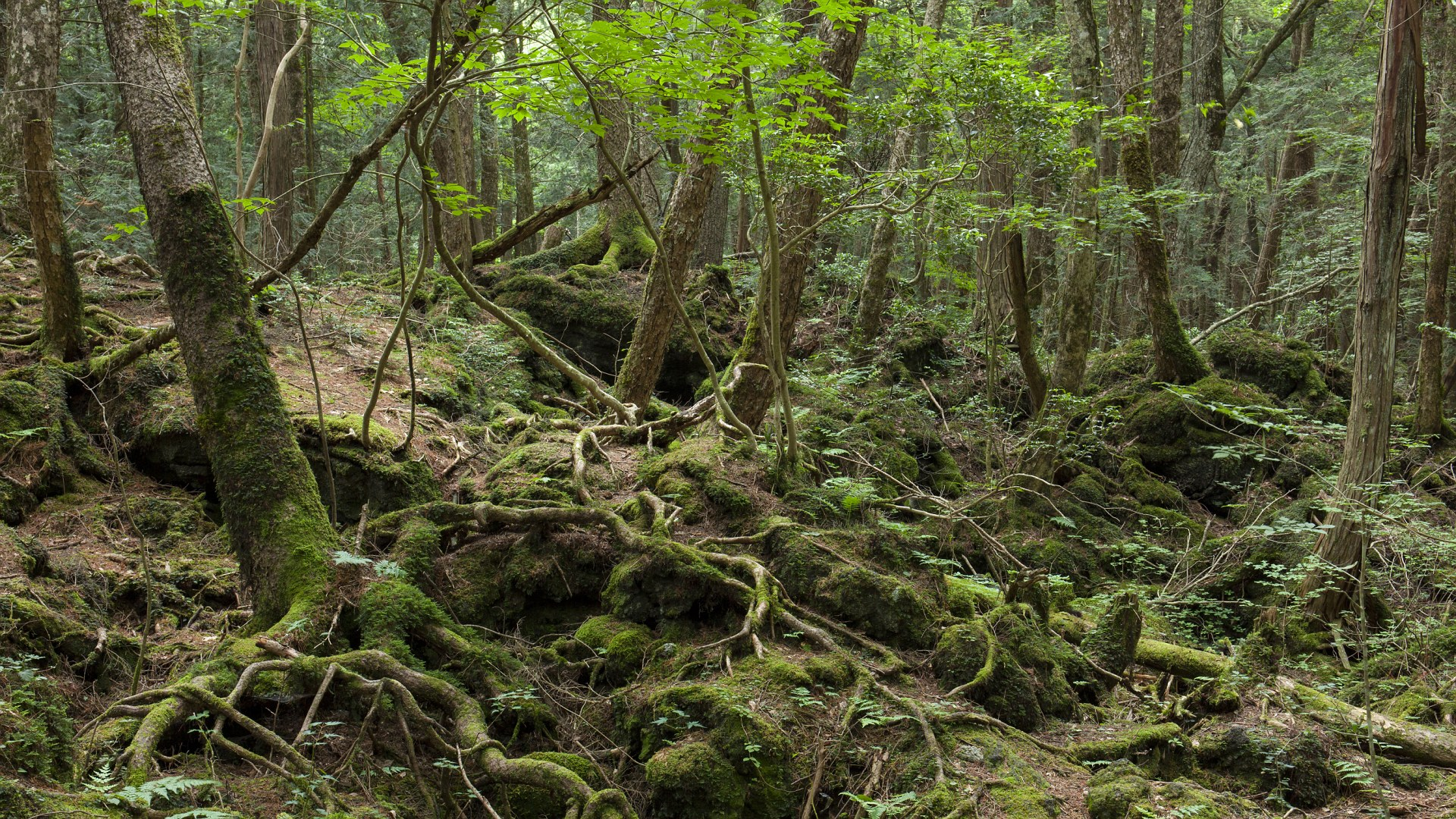 Japan, Koshinetsu Region, Yamanashi Prefecture, Fujikawaguchiko, View of moss and tree in Aokigahara forest. (Photo by: JTB Photo/UIG via Getty Images)