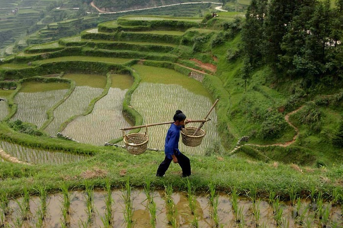 выращивание риса
