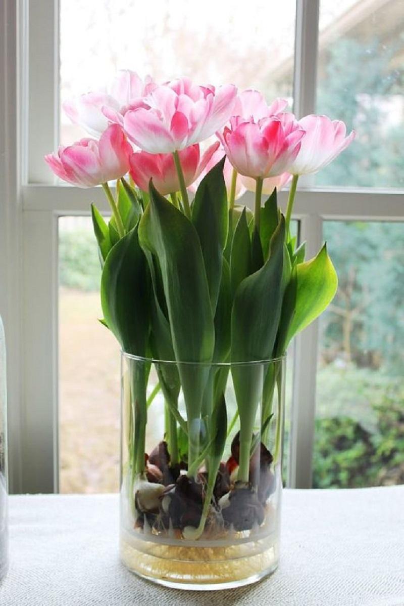как вырастить тюльпаны без земли