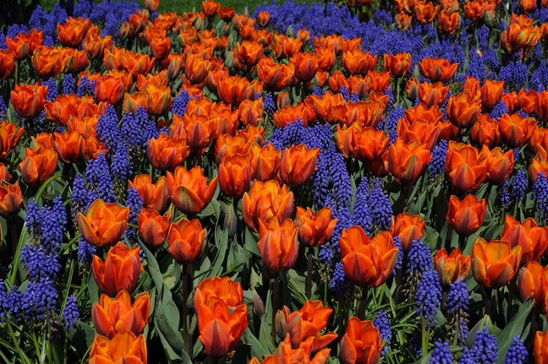 как посадить луковичные цветы
