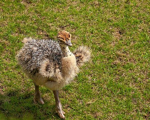 Ostrich baby photo