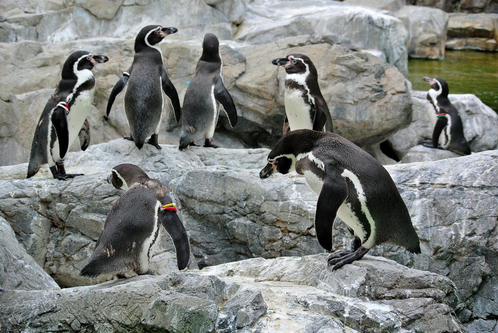 Humboldt penguin fotografia