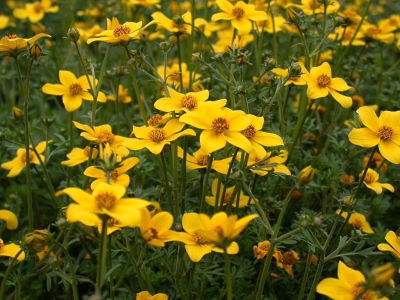 ароматические растения
