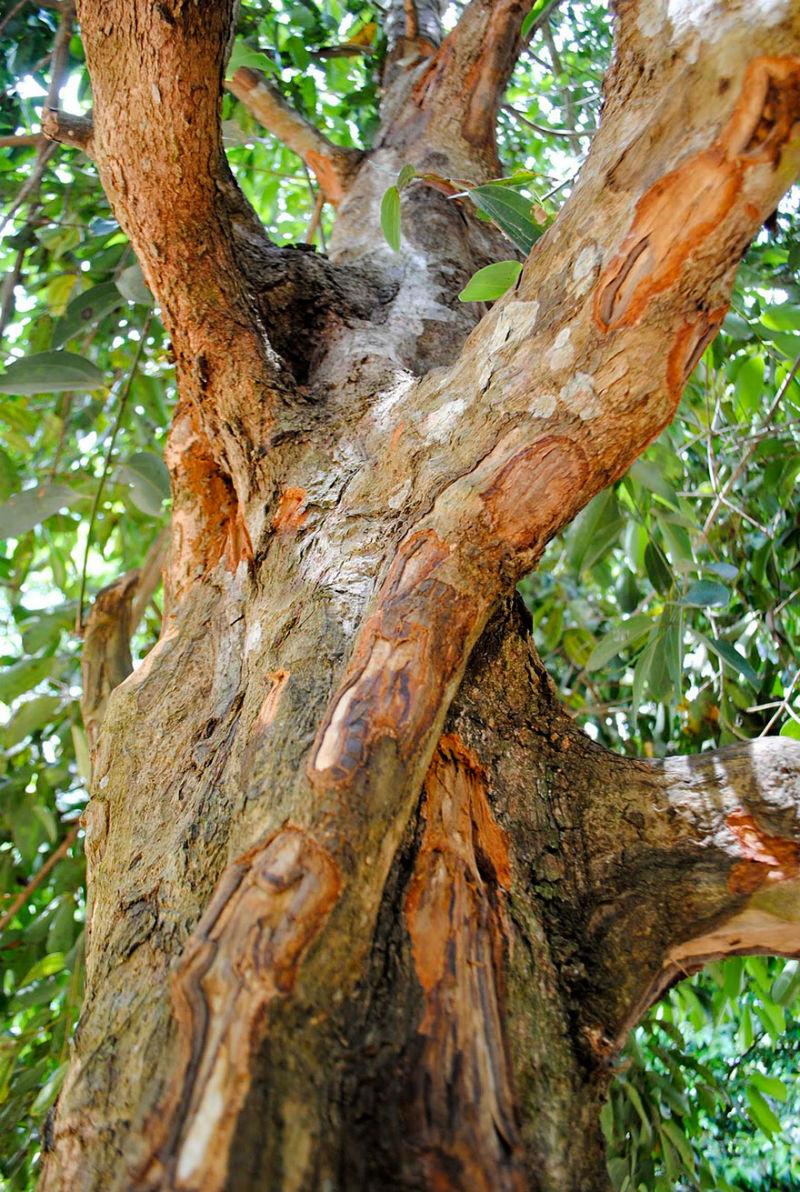škorica strom fotky