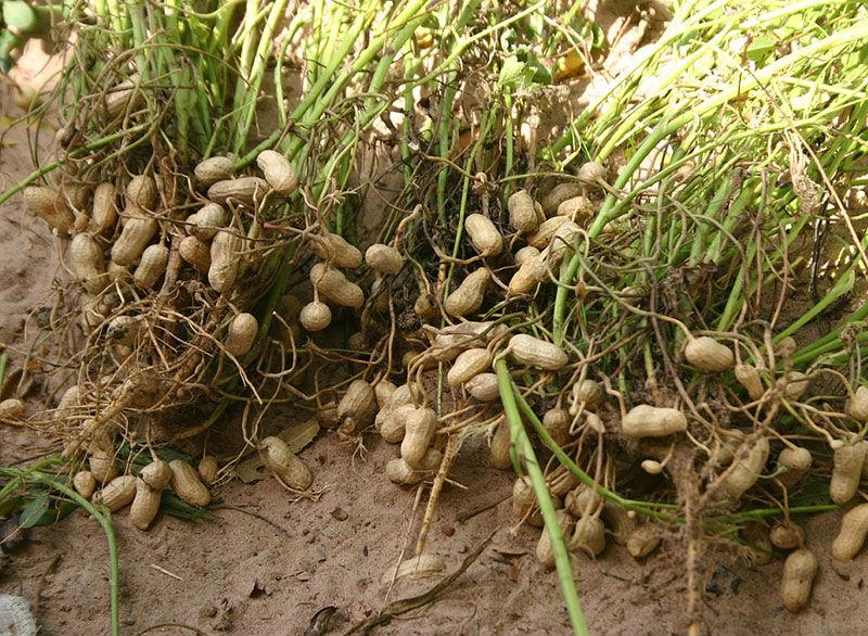 arašidy foto