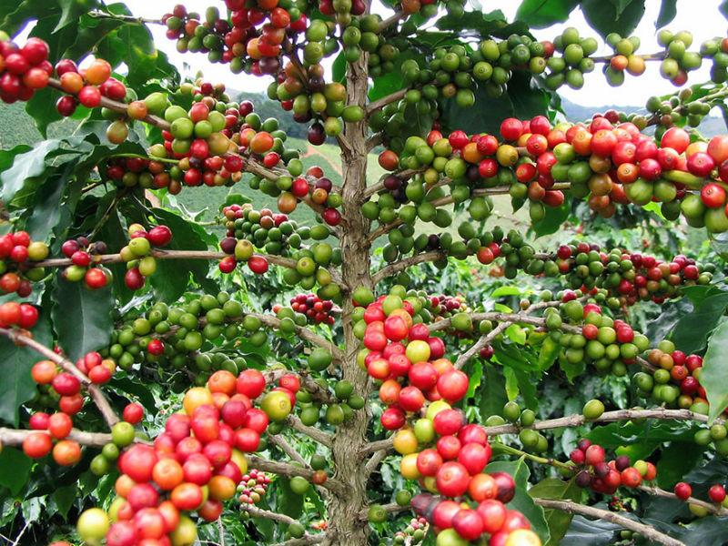 coffee fotografie tree