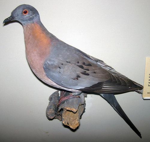 Passenger Pigeon fotografia