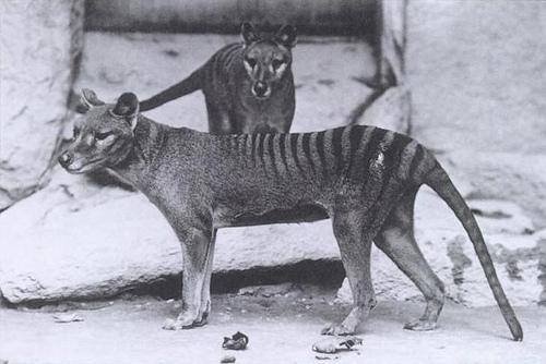 Thylacine fotografia