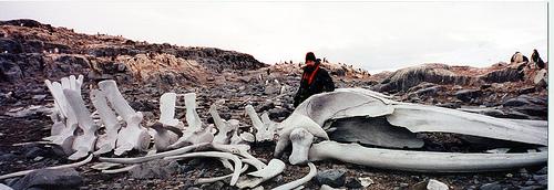 penguin skeleton antarctica fotografia