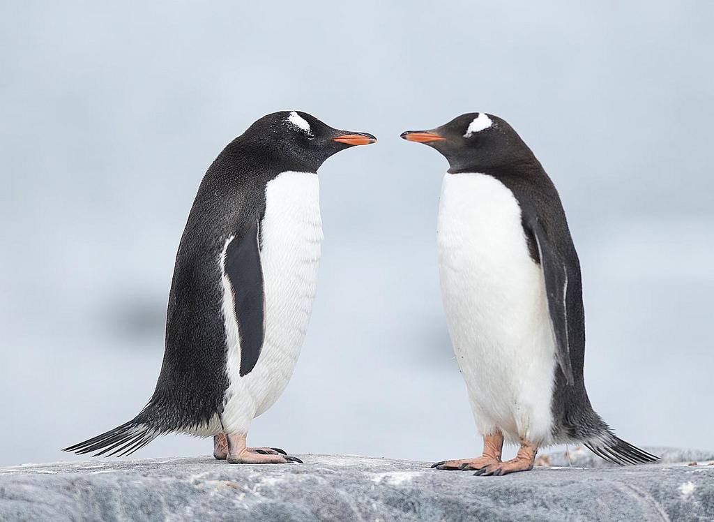 adelie penguins fotografia