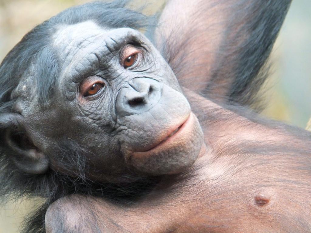 bonobo fotografia