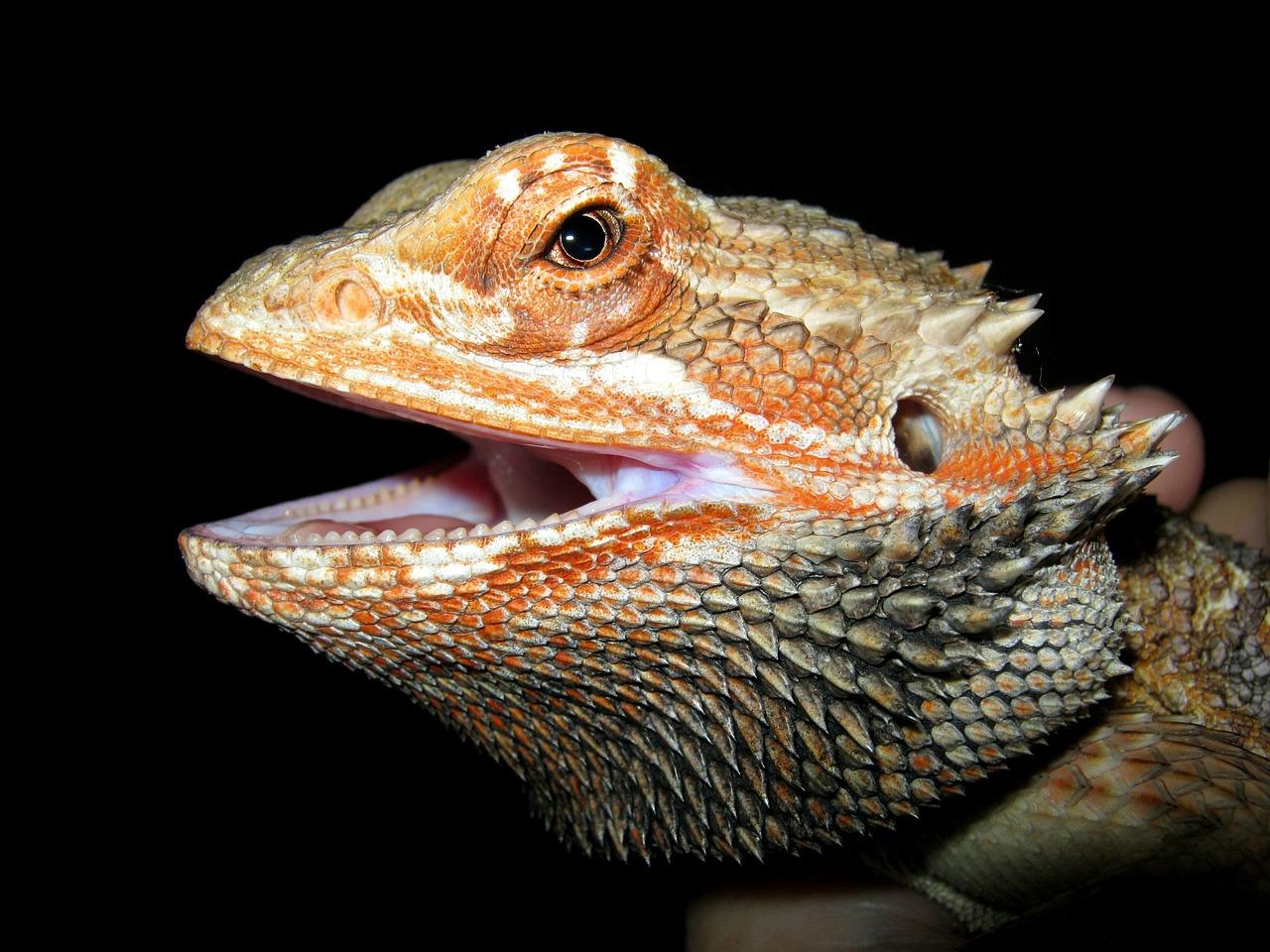 lizard fotografia
