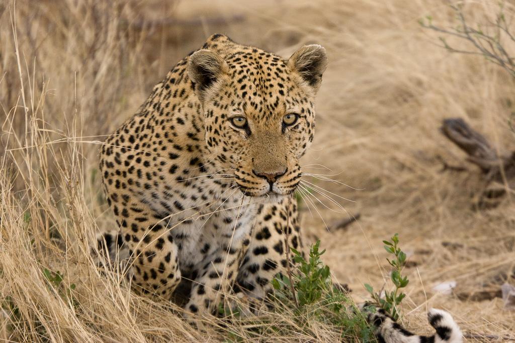 leopards fotografia