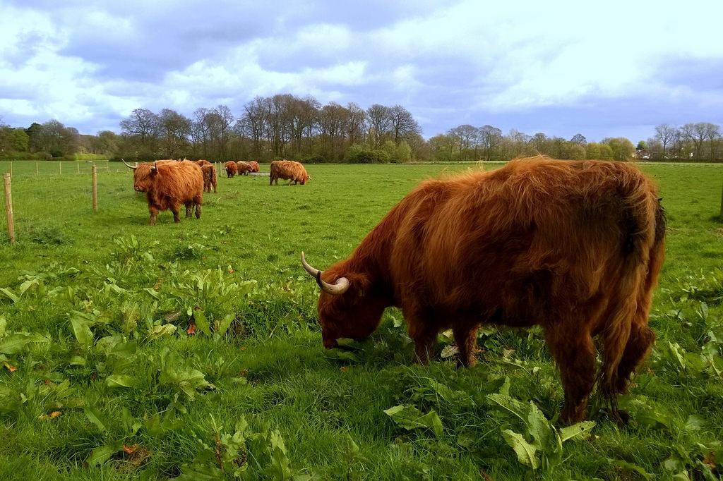 cattle fotografia