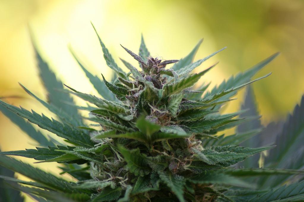 marihuana fotografia