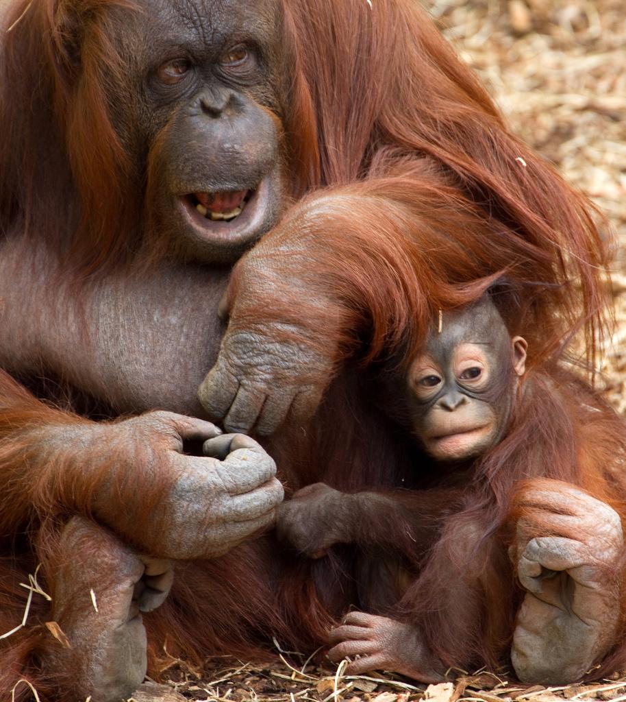 orangutan fotografia