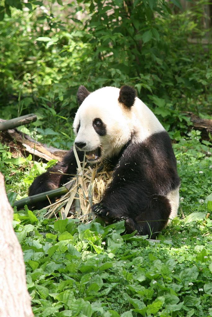 wild panda fotografia