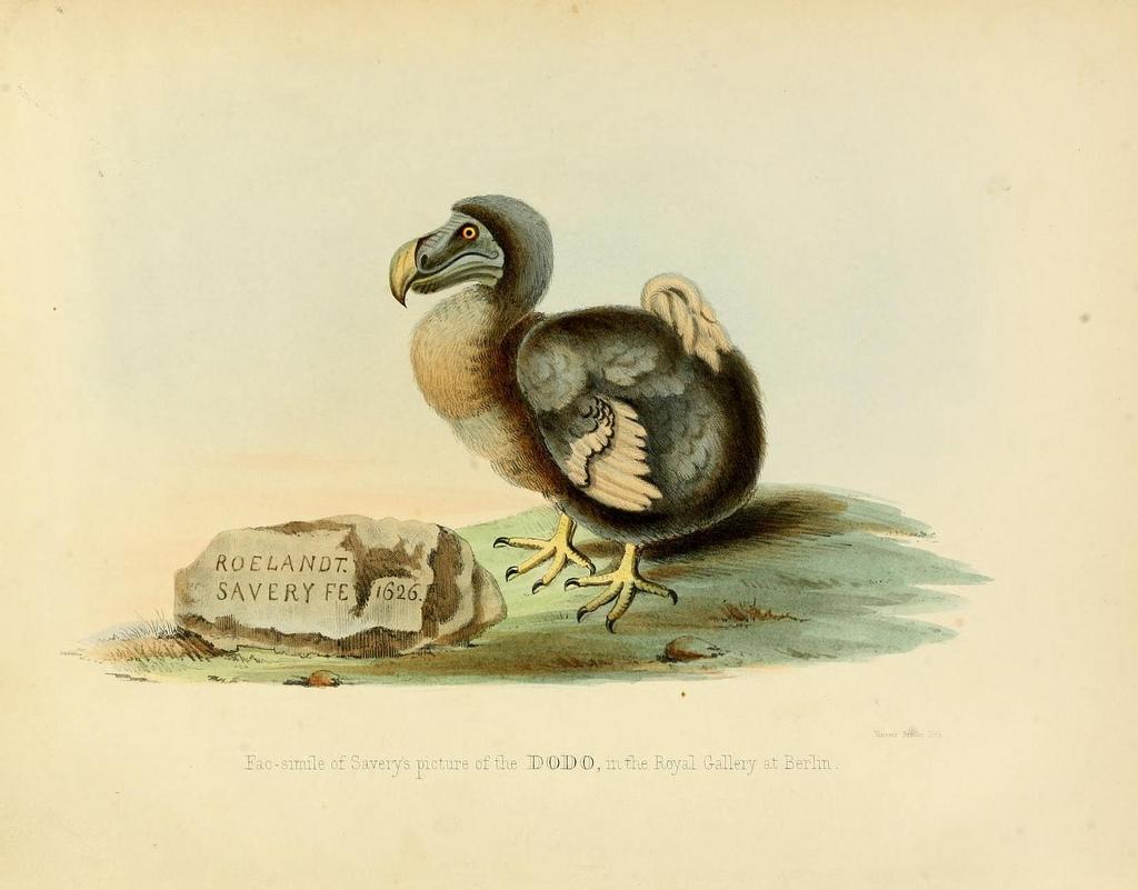 dodo bird fotografia
