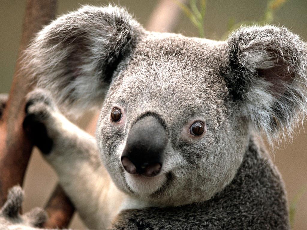koala fotografia