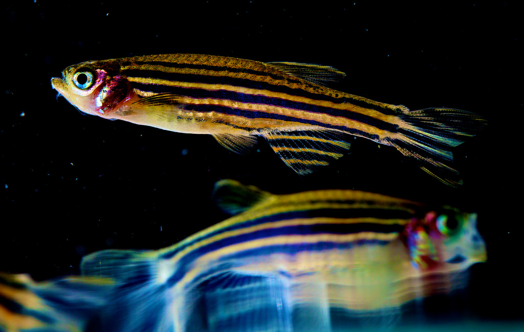 zebrafish fotografia
