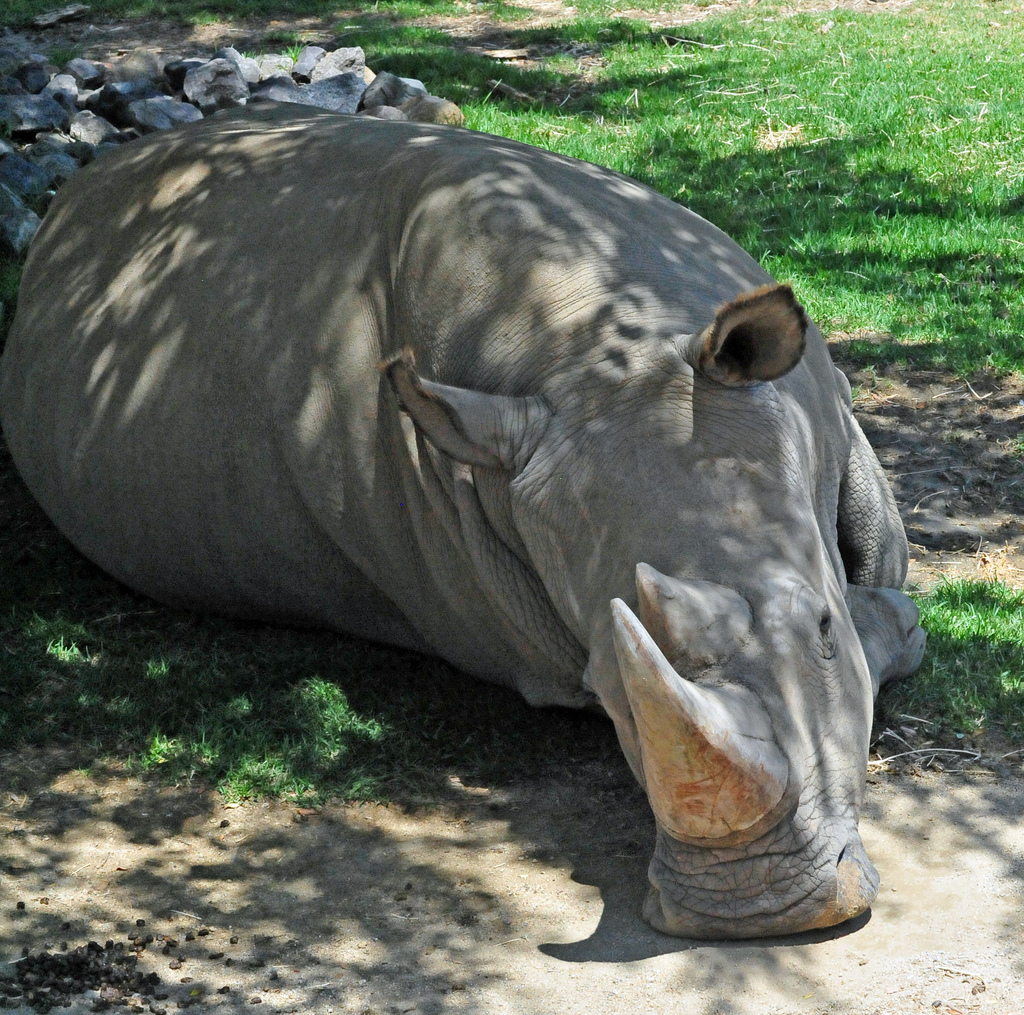 northern white rhino fotografia