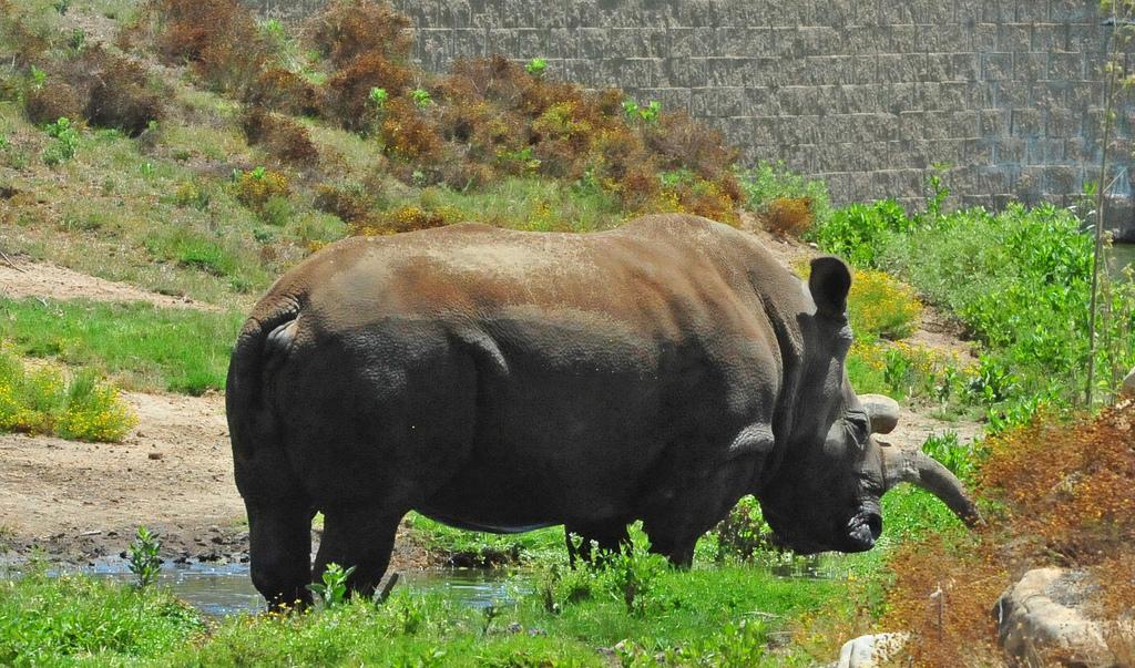 northern white rhino female fotografia
