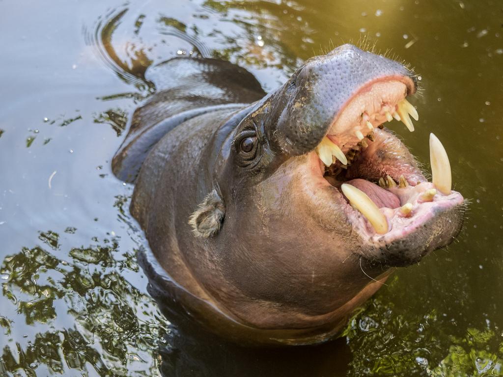 Hippopotamuses fotografia