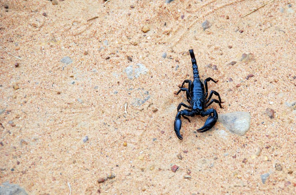 scorpions fotografia